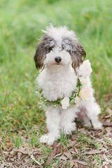 Fischer's Fairytale Teacup & Tiny Maltipoos, & Yorkipoos - Dog Breeders