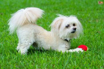 Rolling Meadows Shichon, Maltipoo Puppies - Dog Breeders