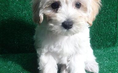 Maltese-Poodle - Dog Breeders