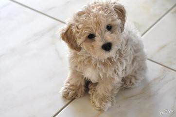Poos-4-U.. We Are A Maltipoo At Heart ! - Dog Breeders