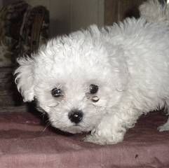 Maltipoo puppys - Dog and Puppy Pictures