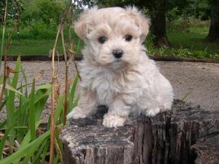 Maltipoos & Yorktese From Sunrise - Dog Breeders