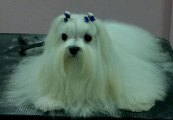 Teacup And Toy Pets Boutique - Dog Breeders