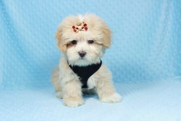 Tcups And Toys - Dog Breeders