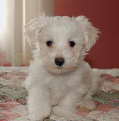 Jenloren Kennel – Miniature Poodles, Toy Poodles And Maltipoos - Dog Breeders