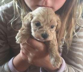 Dawns Dawgs – Malti Poo, Morkies And Yorki Poos - Dog Breeders