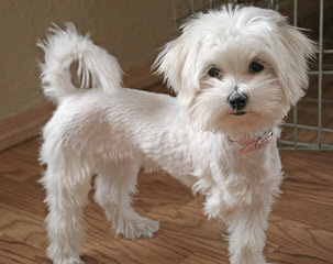 Dollface Morkies And Maltepoos - Dog Breeders