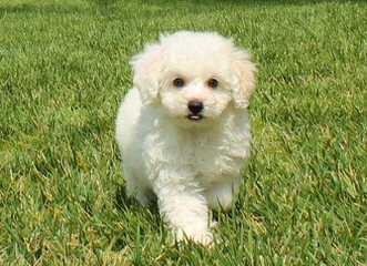 Atender1's Puppies - Dog Breeders