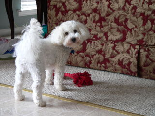 Malti-Poo - Dog Breeders