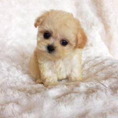 Maltipoo's and Lhasapoo's - Dog Breeders