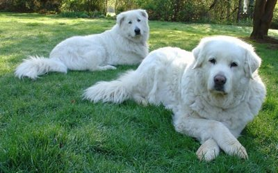 Maremma Sheepdog Dogs and Puppies