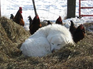Whippoorwill Farm Maremma Sheepdogs - Dog Breeders
