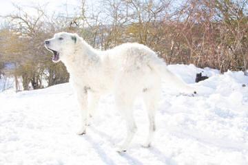 Maremma Puppies -Sale! - Dog Breeders