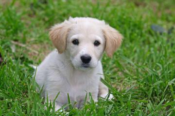 Finder Hampshires & Maremmas - Dog Breeders