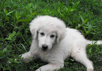 Maremma Puppies For Sale From Working Parents! - Dog Breeders