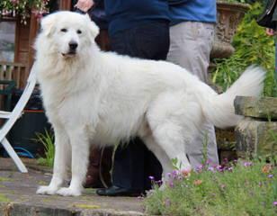 Windance Farm Maremmas - Dog Breeders