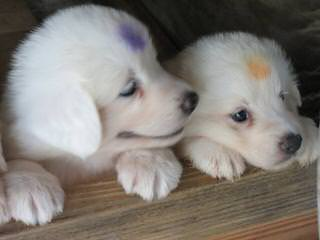 Whippoorwill Farm Maremma Sheepdogs - Dog and Puppy Pictures