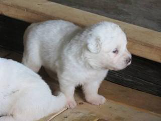 Allevamento della Collina di Revigliasco - Dog Breeders