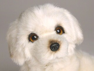 Golden Spiral Icelandics - Dog Breeders