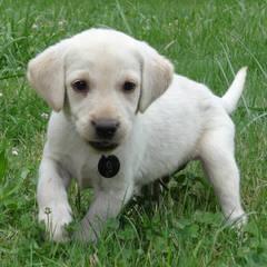 For Sale: Mastador Puppies - Dog Breeders