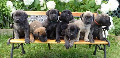 For Sale: Mastador Puppies - Dog and Puppy Pictures