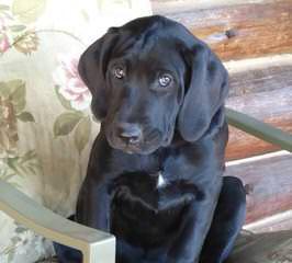 Mastiff Puppies - Dog Breeders