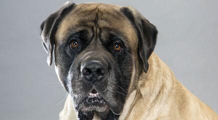 English Mastiff Puppy For Sale - Dog Breeders