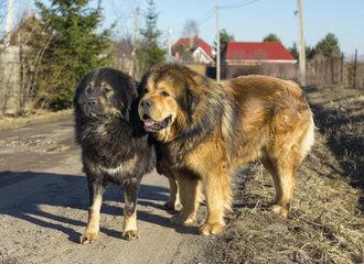 Friendsmastiffs - Dog Breeders