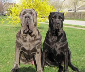 Mount Moriah Mastiffs - Dog Breeders