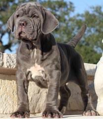 Mistytrails Mastiff's - Dog Breeders