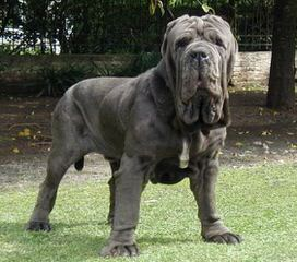 mendeltna mastiffs - Dog and Puppy Pictures
