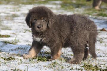 Snow Lion White Tibetan Mastiffs - Dog Breeders