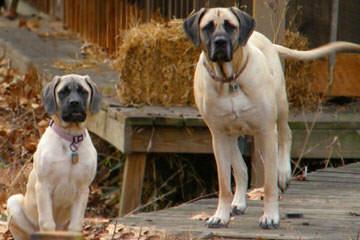 English Matiff Puppies - Dog Breeders