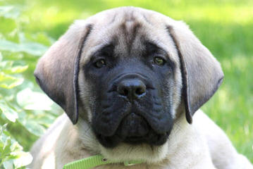 English Bulldogs & Mastiffs - Dog Breeders