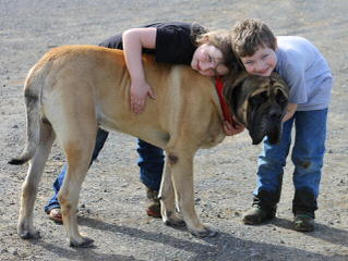 Daniff Mastiff Puppies - Dog Breeders