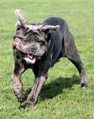 Select Boerboels -South African Mastiffs - Dog Breeders