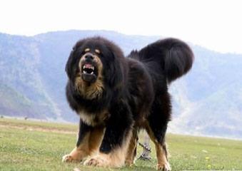 Mastiff Puppies For Sale - Dog Breeders