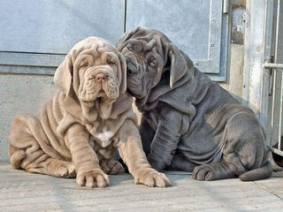 English Mastiffs - Dog Breeders