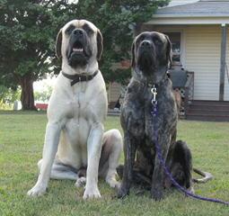 Hopeful Hollow Mastiffs - Dog Breeders