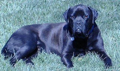 Shomepridemastiffs - Dog Breeders
