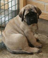 Red Dragon Kennel – English Mastiff, English Bulldog, Dosa Korean Mastiff, Tosa Inu - Dog Breeders