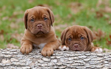 Traugh's English Mastiffs - Dog Breeders