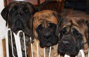 English Mastiffs - Dog Breeders