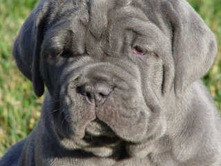 King's Mastiffs and Bloodhounds - Dog Breeders