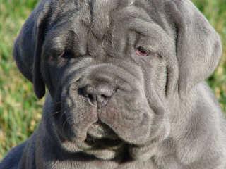 Mean Mug Kennels - Dog Breeders