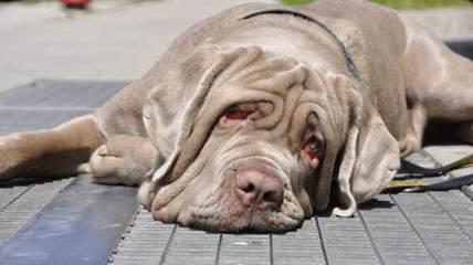 Akcbeagle & Akcpug & Achc Puggles. - Dog Breeders