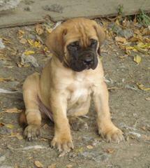 Wisconsin Mastiffs - Dog Breeders