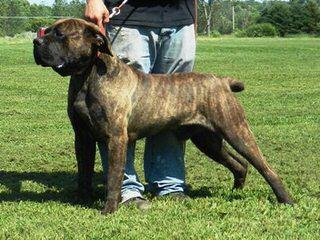 English Mastiff Breeder - Dog Breeders