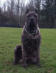 Hopeful Hollow Mastiffs - Dog Breeders