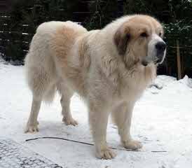Ferridanes And Mastiffs - Dog Breeders